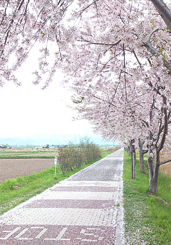 5月13日桜01