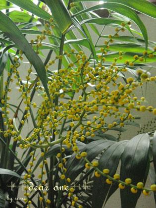 テーブルヤシの花140516_2