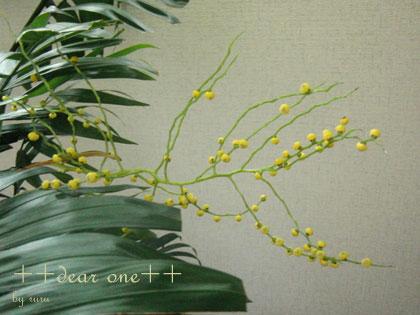 テーブルヤシの花140516_7