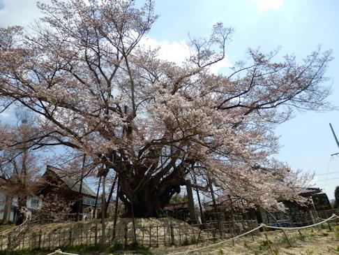 素桜 神代桜