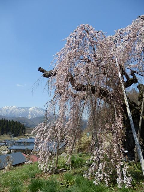 シダレザクラと霊仙寺山