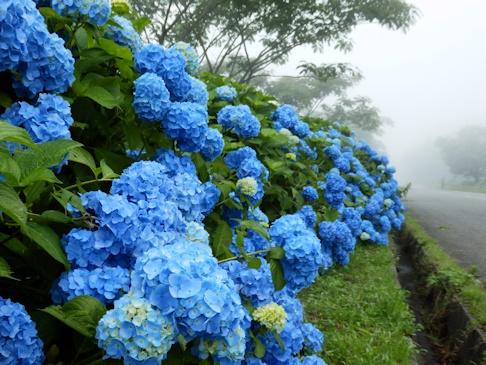 高原の・・・・紫陽花