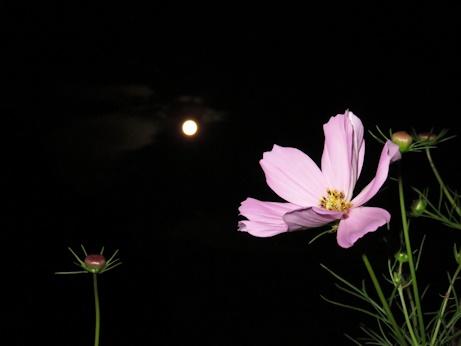 コスモス(秋桜)とお月様