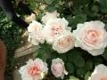 YIGの薔薇・2