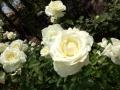 YIGの薔薇・4