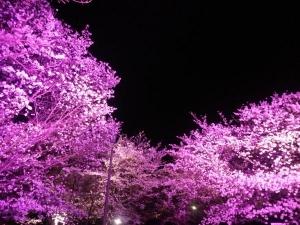 夜桜やで2