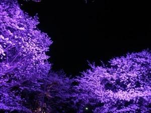 夜桜やで6