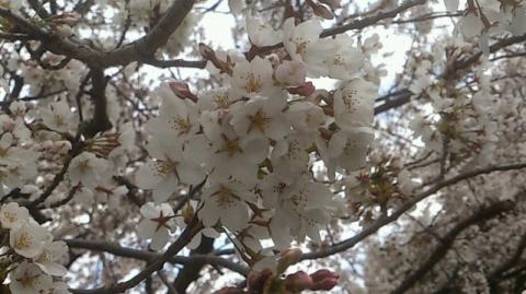 140406 桜1
