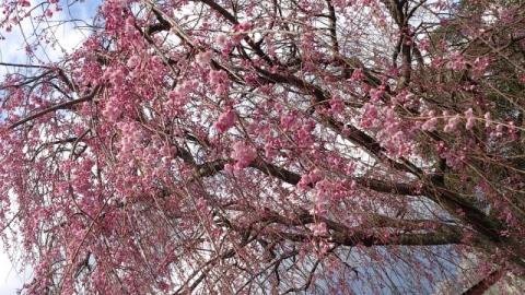 140406 桜2