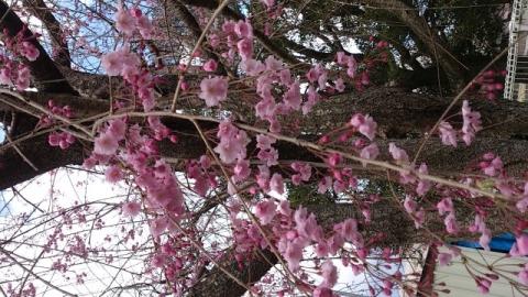 140406 桜3