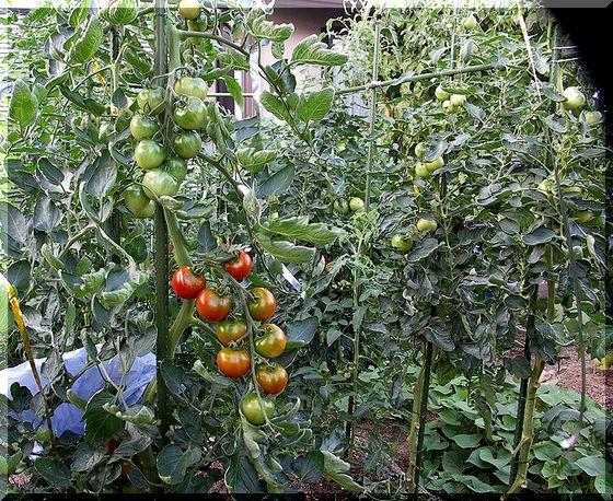 多産系の中型トマト