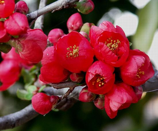 木瓜の花3