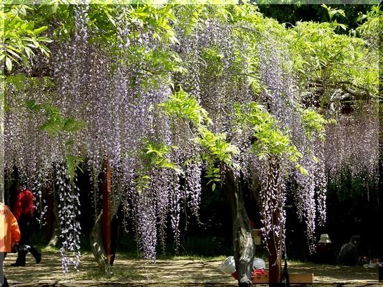 藤公園の藤の花
