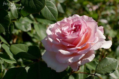 rose20140518 1