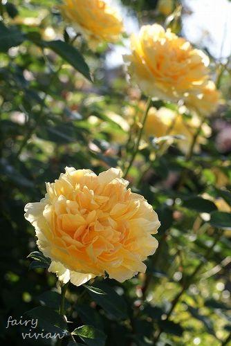 rose20140518 3