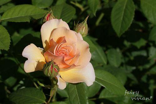 rose20140518 4