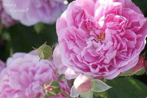 rose20140518 6