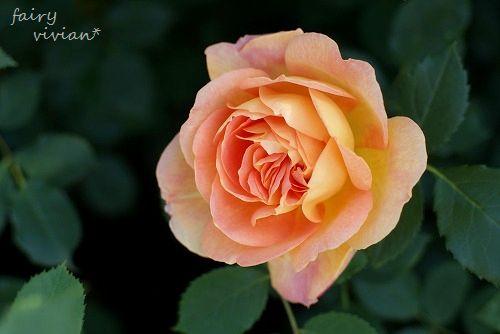 rose20140518 7