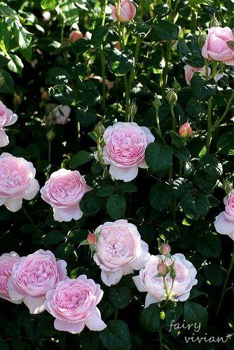 rose20140518 10