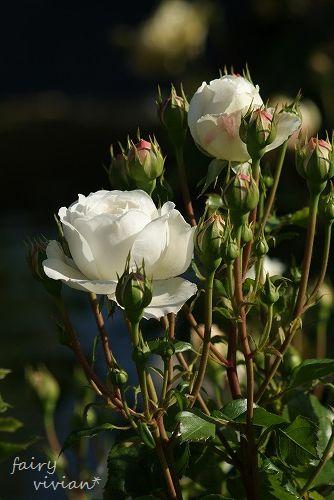 rose20140518 11