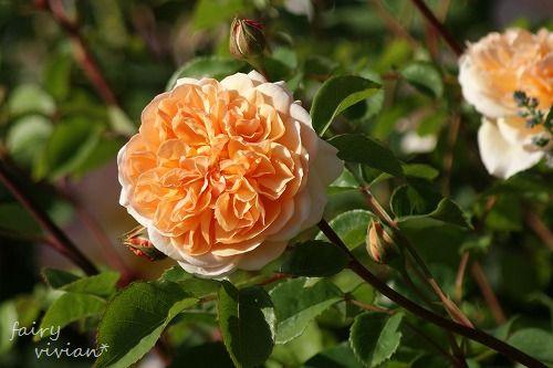 rose20140518 13