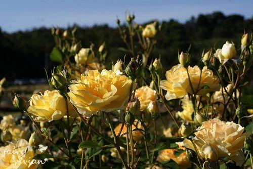 rose20140518 16