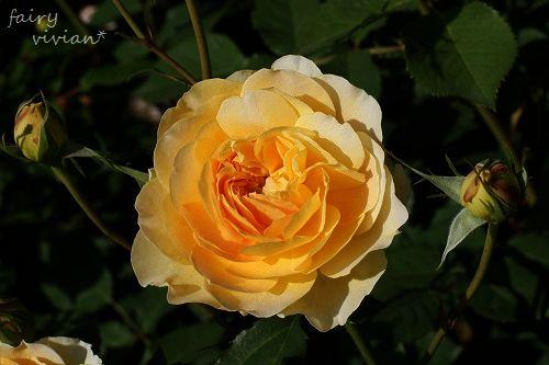 rose20140518 17