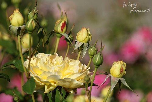 rose20140518 19