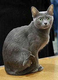 200px-Korat_in_cat_show-cropped.jpg