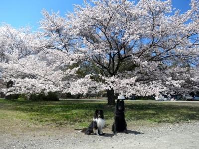 桜20140405