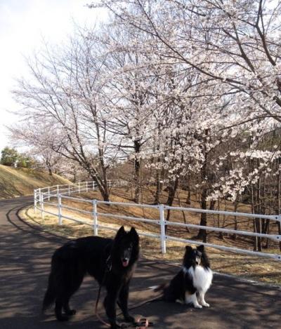 桜201404012