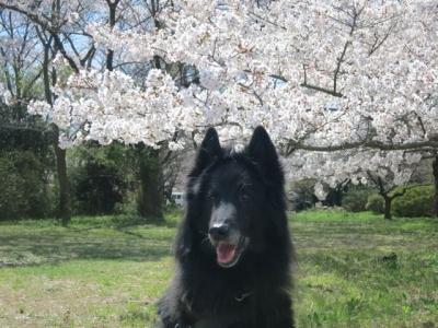 桜201404052