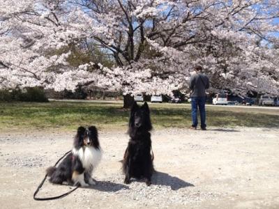 桜20140405成長