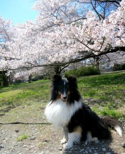 桜20140405成長2