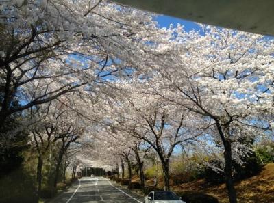 桜2014その6