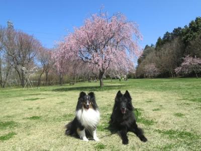 しだれ桜20140407