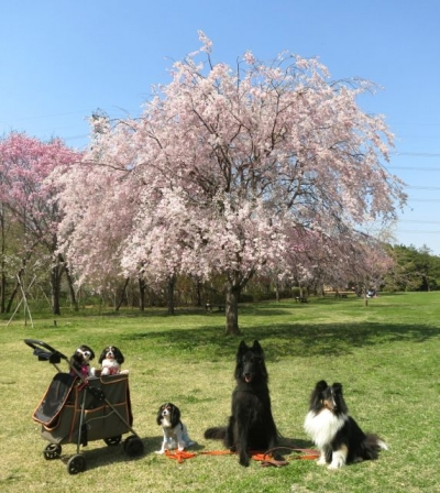 桜ランチ201404112