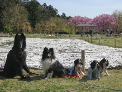 桜ランチ201404113