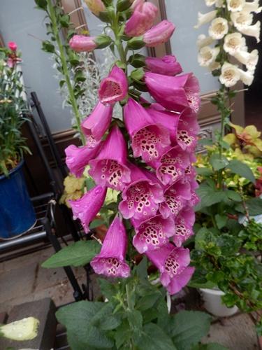 2014.6.9 庭の草花 008