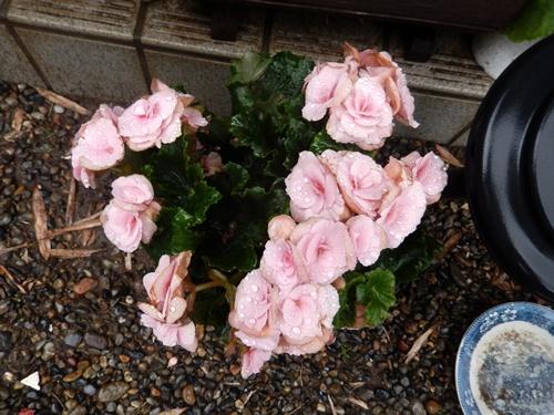2014.6.12 自宅の花と野菜 007 (5)