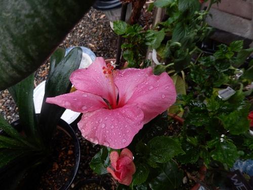 2014.6.12 自宅の花と野菜 007 (4)
