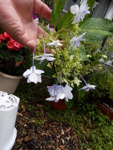 2014.6.12 自宅の花と野菜 007 (2)