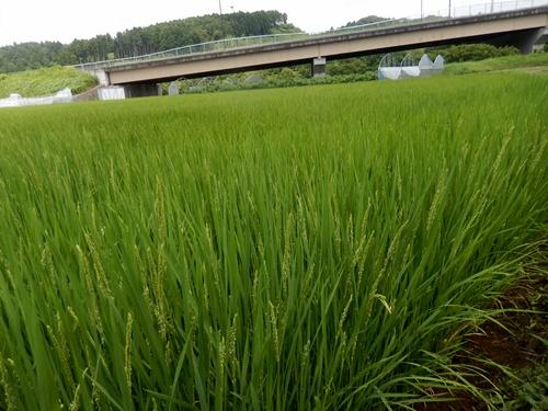 2014.7.22 稲の出穂 005 (1)