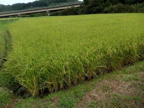 2014.8.12 色付く水稲 028
