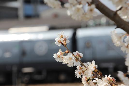 140308鳥栖桜 (115)のコピー