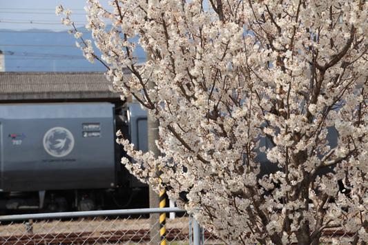 140308鳥栖桜 (114)のコピー