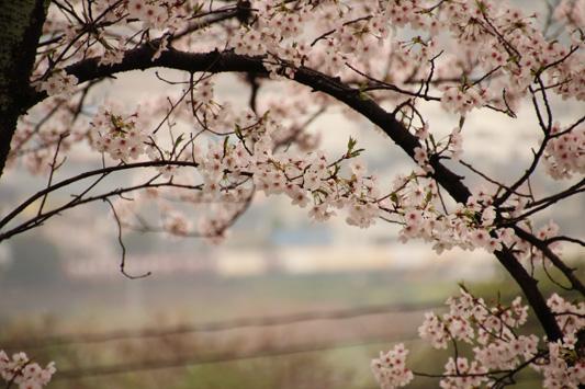140329桜1063レ (61)のコピー