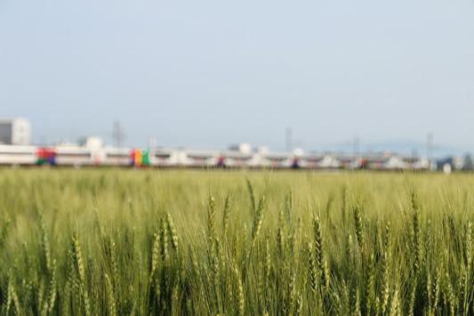 140504瀬高麦畑 (1)のコピー