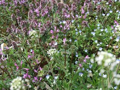 s-早春の野の花②
