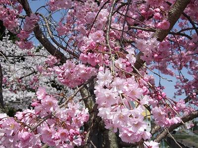 s-桜 001